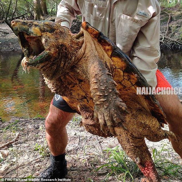 'Dinosaur Of Turtle World': Monster -Sized Snapping Turtle Found In Florida (Pix)