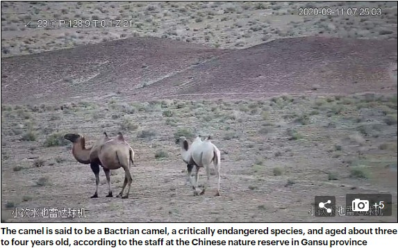 A Wild Albino Camel In China, First Of Its Kind, Caught On Camera (Pics)