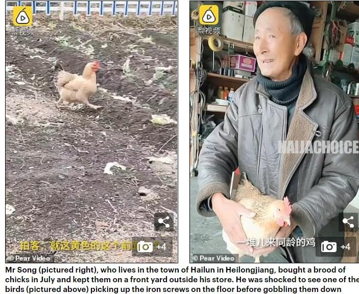 Pet Hen In China Becomes Famous For Eating Metal Screws Daily (Pics , Video)