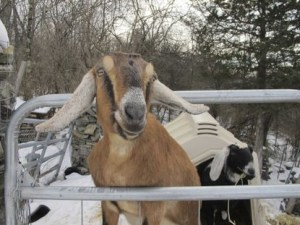A Town In US Elects Goat And Dog As Mayor