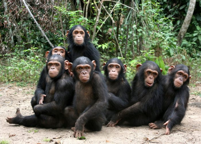 Chimpanzees 700x503 - BREAKING: Chimpanzee Escapes From Jos Park