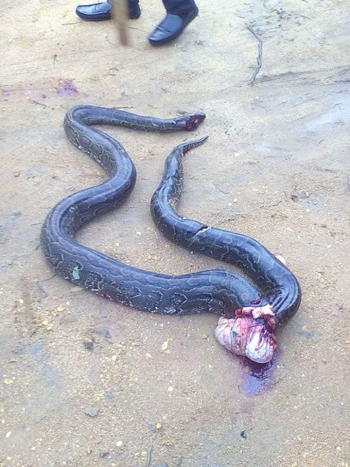 3 87 700x933 - This Big Python Tried To Swallow A Dog, You Won't Believe What Happened Next (Photos)