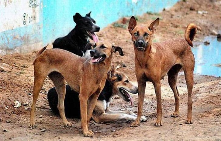 Dog Gang-raped, Stabbed To Death By Attackers