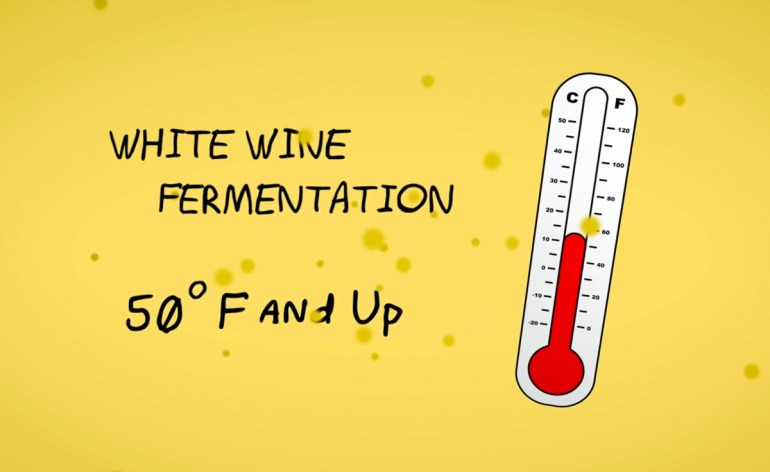 White wine fermentations are cooler than red wines at around 50 F and up