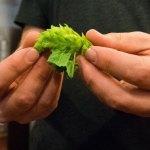 A Scientist Explains Dry-Hopped Beer's Juicy Secret