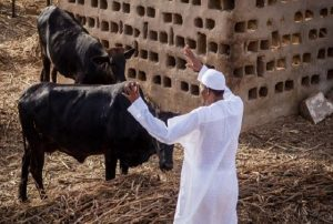 Buhari and his cattle