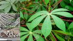 The Spiritual Benefits And Uses Of Cassava Leaves
