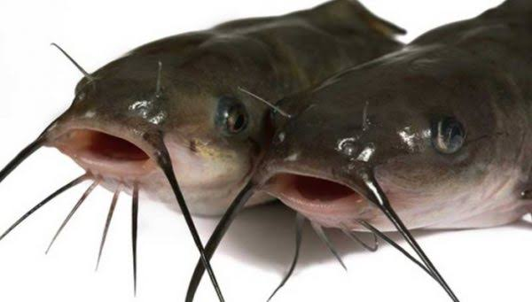 Best guide to start Catfish business in Nigeria