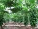 pawpaw planting