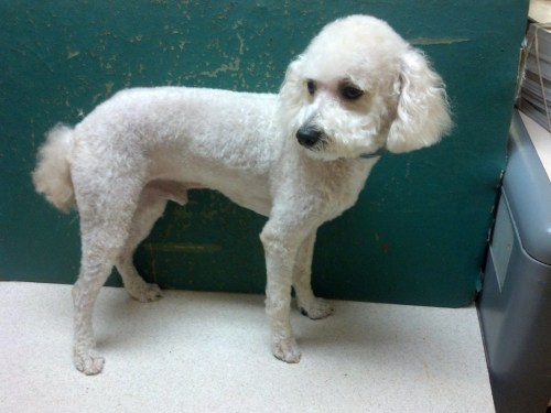 Bichon Poodle Mix In Considerable My Poodle Bichon My Poodle