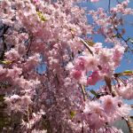 Japanese weeping cherry blossoms