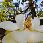 Japanese white bark magnolia