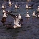 Black-tailed gulls