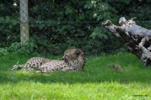 Gepardengehege