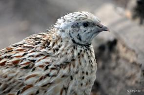 seltenes Huhn