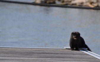 Der schwarze Iltis am Bootssteg