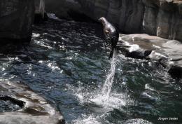 Seelöwe springt aus dem Wasser