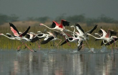 Flamingos in Nalsarovar bird sanctuary