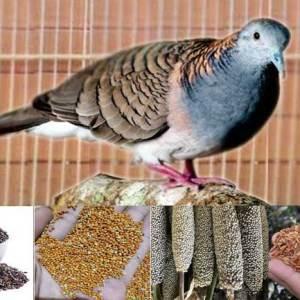 Pakan Burung Perkutut Terbaik