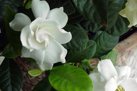 Pictures of gardenia flowers best white flowers white flowers gardenia gardenia jasminoides herbe rowe gardenia flowers why are the leaves on my gardenia turning yellow gardenia leaves gardenia not blooming getting a mightylinksfo