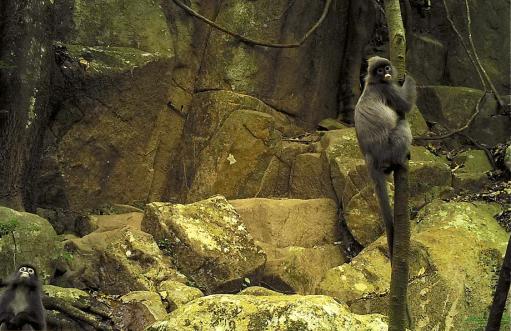 NEPL-wildlife-laos-trek-langur