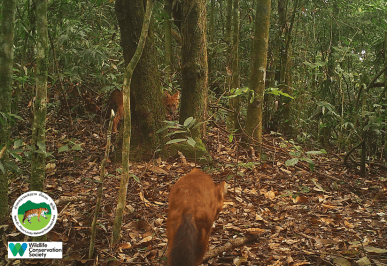 laos-wildlife-dhole-namet-1-sm
