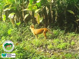 laos-wildlife-dhole-namet-3-sm