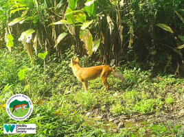 laos-wildlife-dhole-namet-3-sm