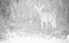 Sambar deer (Rusa unicolor)