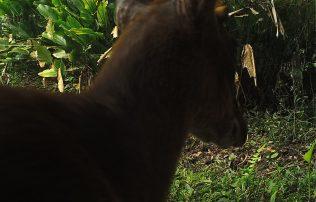 Red Munjac (Muntiacus muntjak)