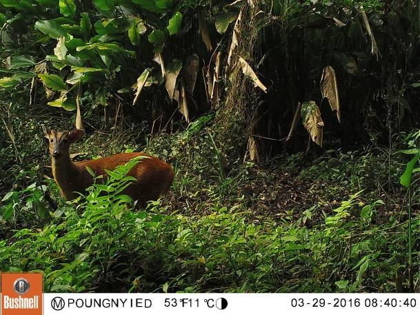 wildlife-laos-muntjac
