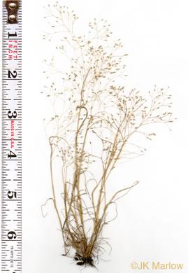 lengőfű (Aira elegans)
