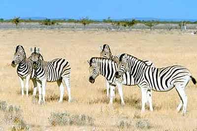 Zèbres Etosha - Namibie safari voyage sur mesure et groupe Namibie Botswana Voyage Namibie carte et prix