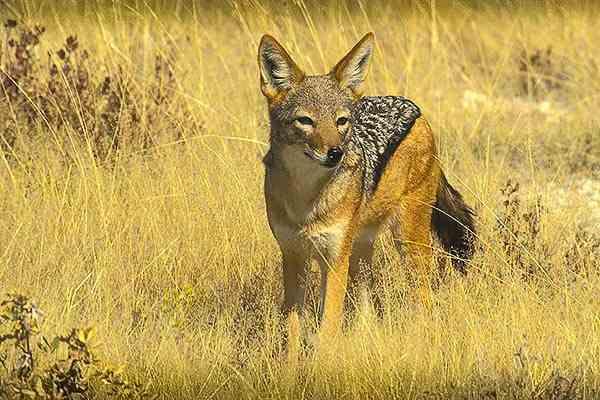 Chacal - Namibie safari voyage sur mesure et groupe Namibie Botswana Voyage Namibie carte et prix