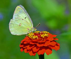 zinnia flower with butterfly