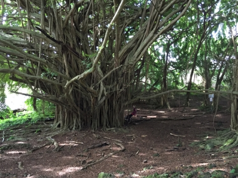 Banyan tree at Rainbow Falls in Hilo, Hawaii