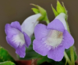 gloxinia flowers
