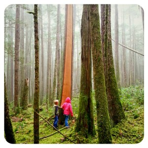 Cedar trees, Sechelt, BC