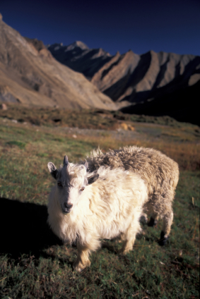 Kashmere Cashmere goat