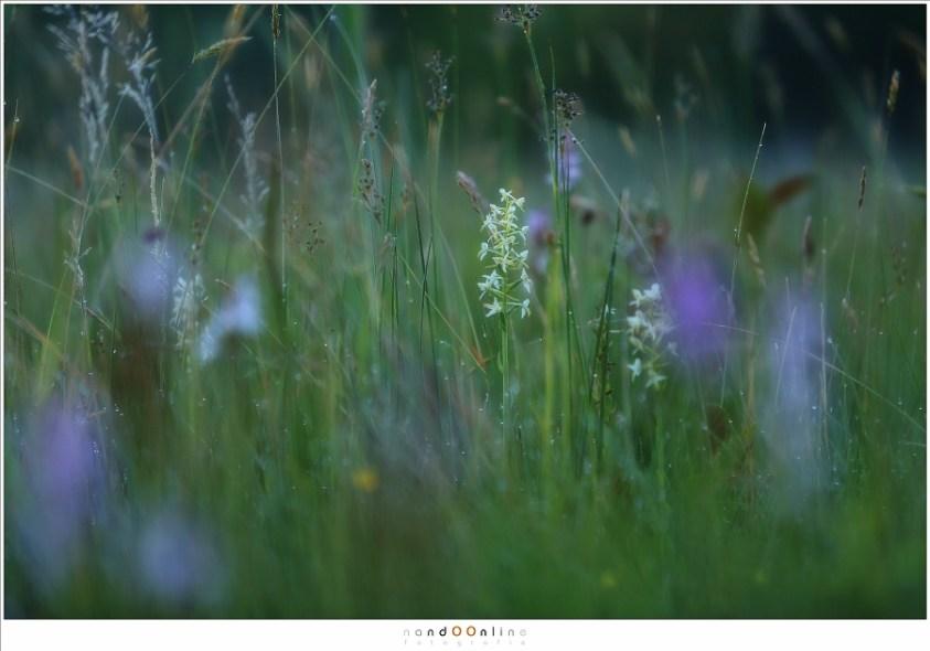 Wilde orchideeën in Nederland - Welriekende nachtorchis tussen de gevlekte orchis
