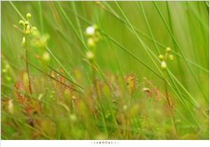 Kleine zonnedauw op de Strabrechtse Heide