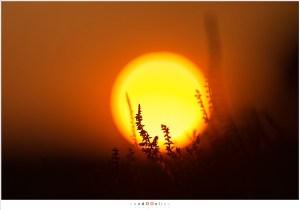 Heide in bloei, met op de achtergrond de zon