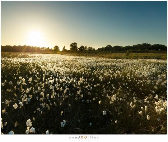 Een veld vol veenpluis