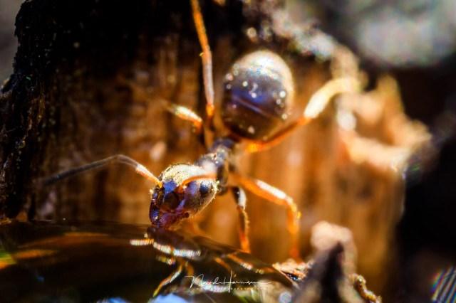 Extreme macro van een mier met de Canon MP-E65