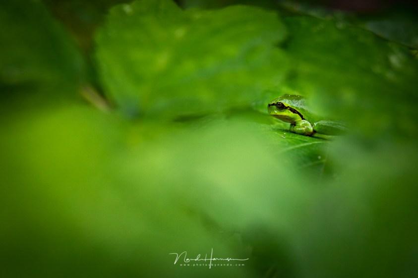 Op zoek naar de boomkikker, die verborgen zit tussen de bladeren.