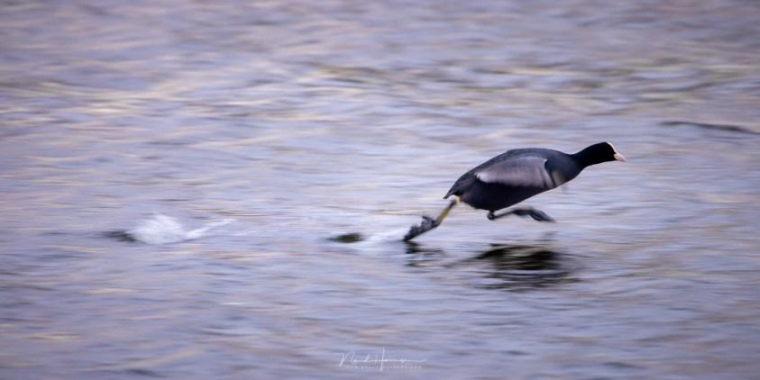 Een meerkoet aan het rennen