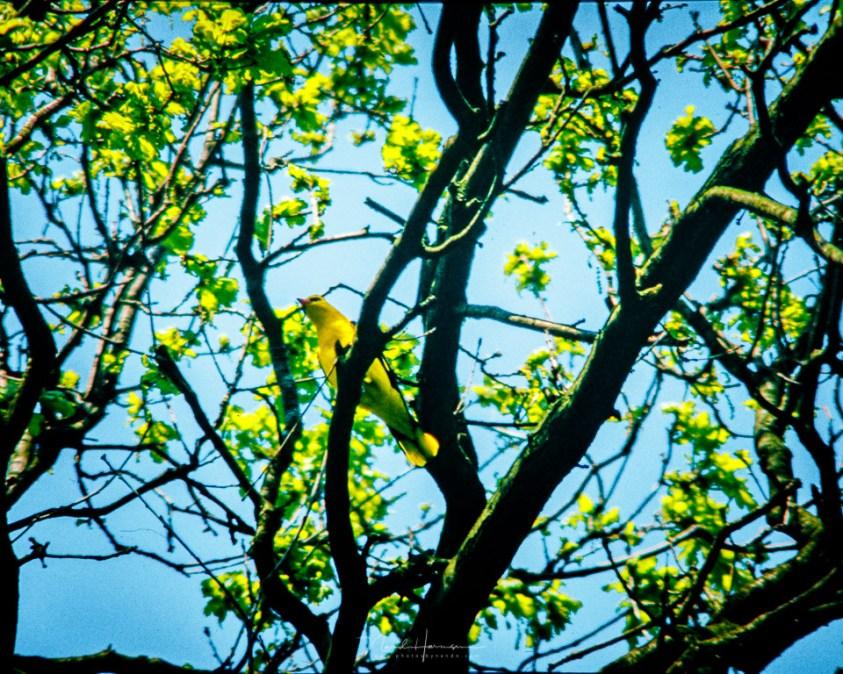 Wielewaal vogelfotografie door nando