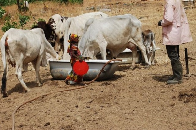 Little girl feeding her parents' cows, in Kaduna state - northwest nigeria  © Mohammad Ibrahim/IRIN