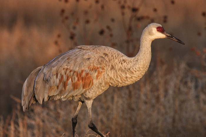 Sandhill crane photographed from my car!
