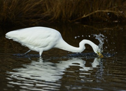 Great Egret Fishing, (c) Jim Clark